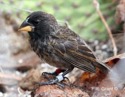 New species of finch evolved on Galapagos Islands in just two generations